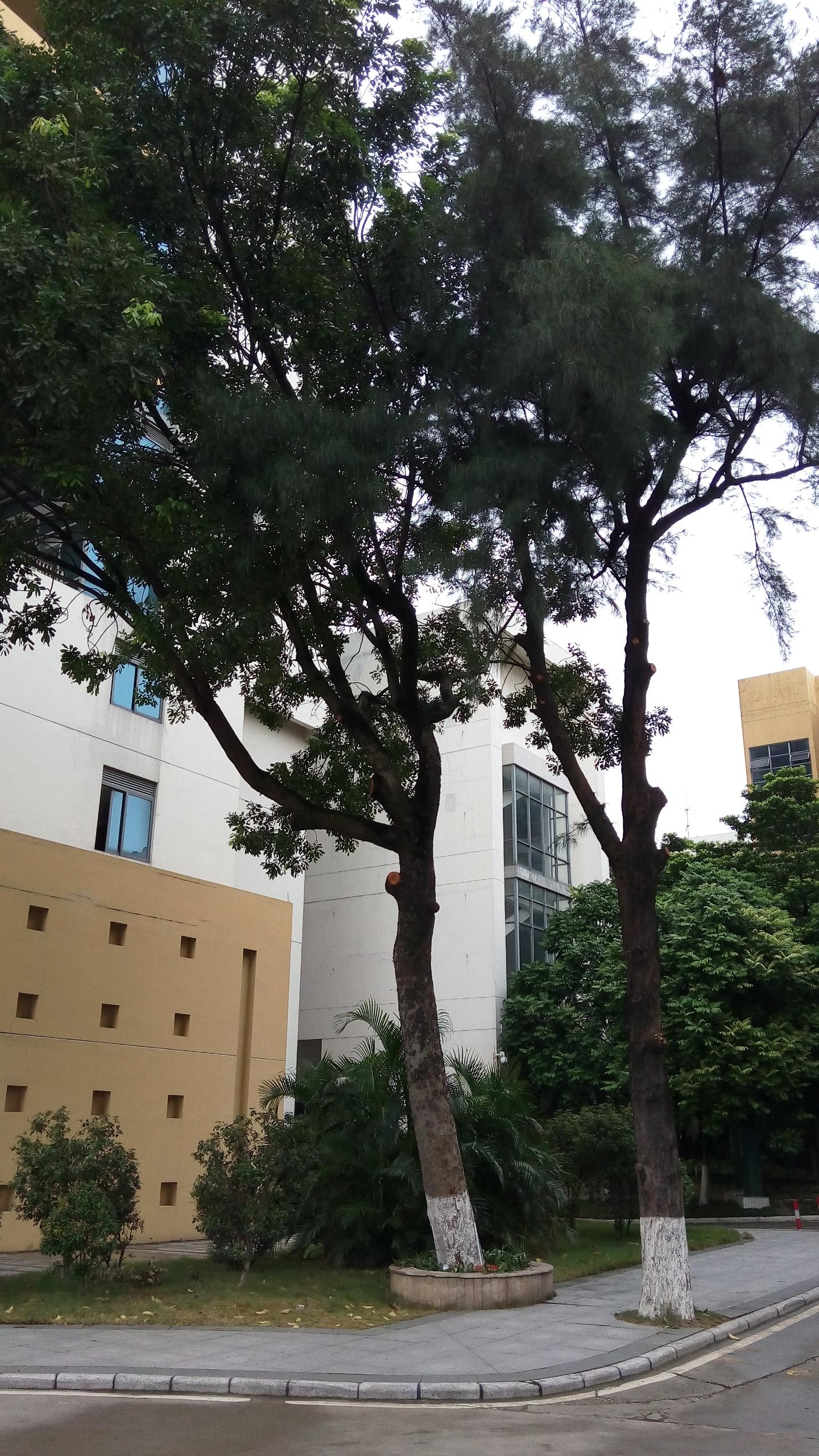 环艺系绿化小组石井校区修剪有安全隐患的乔木